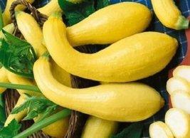 "50 Seeds HEIRLOOM Squash Early Summer Crookneck ""Cucurbita Pepo"" - $4.94"