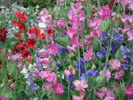 SWEET PEA, 500+ SEEDS ORGANIC NEWLY HARVESTED, GREAT CUT FLOWER - $8.99