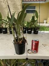 Pot Elegant Walker 'non' CATTLEYA Orchid Plant Pot BLOOMING SIZE 0506 N image 2