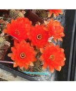 Chamaecereus Different Forms Cactus Red Flowers - $9.95