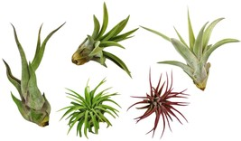 Small Tillandsia Air Plants 5 Live Palnt Assortment of Exotic Variety Pa... - $17.47