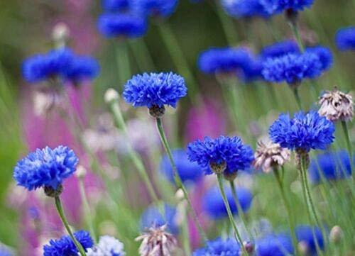 Primary image for 150 SeedsTall Blue Cornflower Beautiful Bright Color Comb. S/H TkPaynean