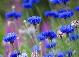 150 SeedsTall Blue Cornflower Beautiful Bright Color Comb. S/H TkPaynean - $44.55