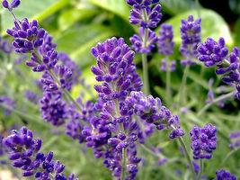 50 Pcs Lavender Seeds, English, Heirloom Perennial Herb Seeds, Very Frag... - $13.99