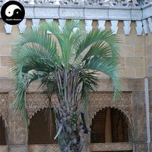 Buy Butia Capitata Tree Seeds 6pcs Plant Chinese Butia Capitata Bu Di Ye Zi - $5.99