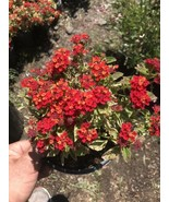 Live Plant-variegated Leaf Lantana With Red Flowers 1 Gallon Pot - $15.68