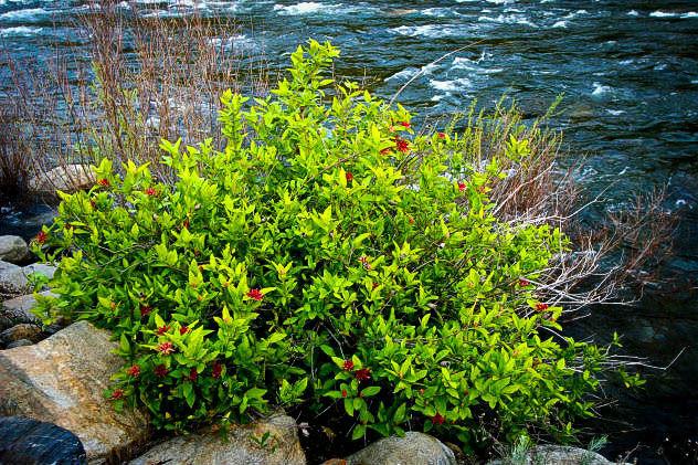 SPICE BUSH Pond Berry- (Lindera melissifolia)