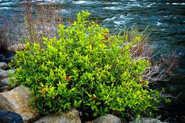 SPICE BUSH Pond Berry- (Lindera melissifolia) image 1