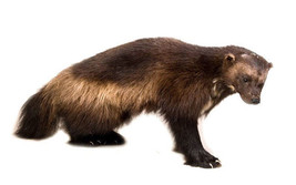 Wolverine Standing Taxidermy Wall Mounted Animal Statue - $3,289.99