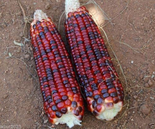 SHIPPED From US_BLOODY BUTCHER CORN SEED 1 lb -WB
