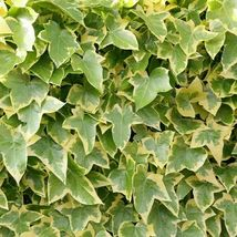 Common Ivy - English Ivy - Hedera helix - 50+ seeds - $8.99