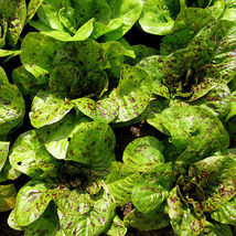 100 Pcs Romaine Lettuce Seed, Freckles, Heirloom Lettuce Seed, Very Tasty - $13.99