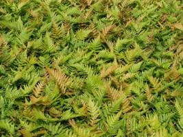 Autumn Fern 12 Plants in 3-1/2 inch Pots FREE SHIPPING - $92.88