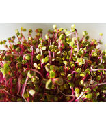 SHIP FROM US 250 RED ARROW SPROUTING RADISH MiniGreen Daikon Raphanus Se... - $12.00
