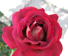 50pcs Very Wonderful Large Dark Red Rose Flower Seeds Strong Fragrant IMA1 - $15.95