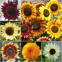 SHIP From US, 25 Seeds Sunflower Seeds Mix, DIY Home Plants AM - $18.99
