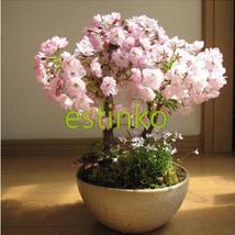 Hot Selling 20pcs/lot Japanese Sakura Seeds Bonsai Seeds Bloom Flower   - $7.55