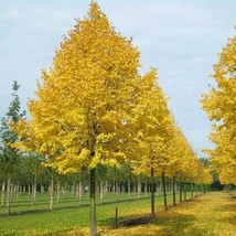 SHIP FROM USA Littleleaf Linden Tree Seeds (Tilia Cordata) 20+Seeds UDS - $21.98