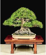 """2.5"""" Pot -Willow Leaf Weeping Fig - Ficus -  Fairy Garden Plant or Bonsa... - $51.00"""