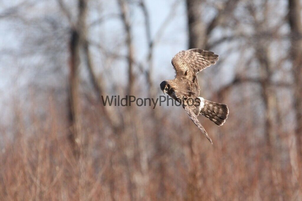 Primary image for Northern Harrier Hunting Photo - Pick One Image - Various Sizes
