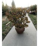 Jade Plant Crassula Ovata 10 Years Old  WHOLE PLANT  - $296.01