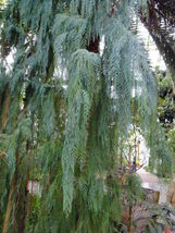 30 Kashmir Cypress Cupressus cashmeriana Tree Seeds (Fragrant Weeping Evergreen) - $10.99