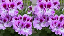 168 - 20 Bi Color Purple Geranium Seeds Perennial Flower Seed Bloom – RR01 - $21.95