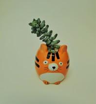 """Donkey's Tail Succulent in Tiger Planter, Sedum Morganianum 2"""" Orange Ceramic image 2"""