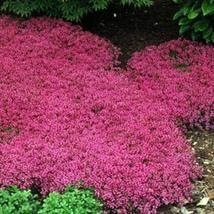 Creeping Thyme (Thymus Serpyllum) Magic Carpet- 25 seeds - $3.98