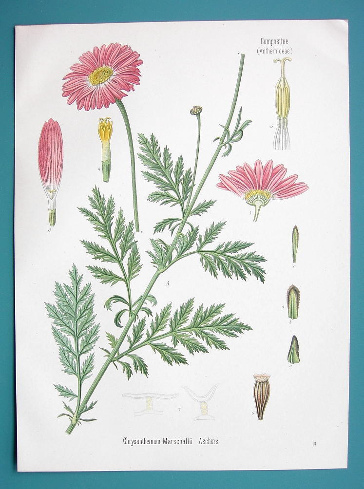 Primary image for ARMENIAN DAISY Flower Chrysanthemum Marshallii - Beautiful COLOR Botanical Print