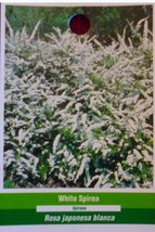 White Spirea Flower Hedge Bush Flowers Blooms Plant Easy Grow Live Plants Now - $53.30