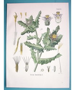 HOLY THISTLE Medicinal Cnicus Benedictus - Beautiful COLOR Botanical Print - $18.36
