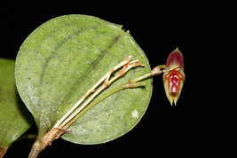 LEPANTHES DICTYDION MINI MINIATURE ORCHID POTTED - $49.00