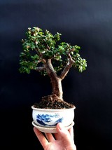 Perfect Bonsai - Portulacaria afra - 16 year old - From private collection - $95.04