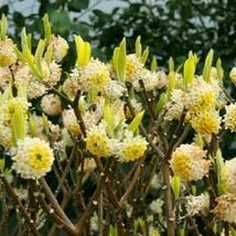 Edgeworthia Chrysantha Paperbush Fragrant Yellow 5 Seeds #GRG03 - $16.17