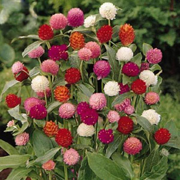 Primary image for Higro Mix Gomphrena Globe Amaranth Flowers 30 Seeds, cut flowers Home and Garden