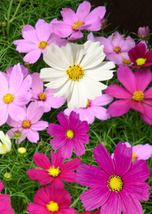1200pcs Very Admirable Fresh Coreopsis Seeds Mix Cosmos Flowers IMA1 - $27.95