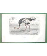 BIRDS Ostrich - 1860s COLOR Print by Buffon - $14.92