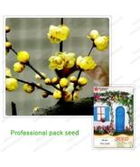 Chimonanthus Bonsai Tree Seeds Plum Flower Seeds 100% the True Seeds - $6.99
