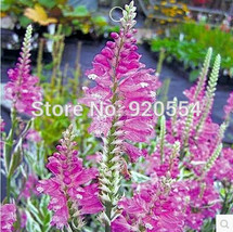 30pcs/original pack pink Physostegia virginiana ,Obedient Plant seeds fl... - $7.11