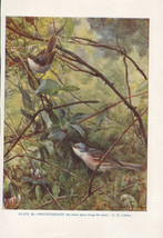 VINTAGE BIRD PRINT ~ WHITETHROATS MALE & FEMALE - $38.39
