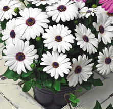 120 Seeds Osteospermum African Daisy Sky Ice O Ecklonis White Purple Eye Flower  image 4