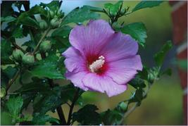 Rose Of Sharon Plants - $8.88