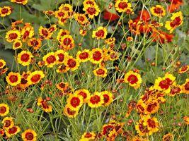 Dwarf Plains Coreopsis 2000 Flower Seeds  - $15.98
