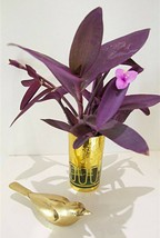 Tradescantia Purple Heart Wandering Jew 6 Cuttings...FREE SHIPPING - $9.89