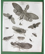 INSECTS Cicade Locust Lantern Bug - 1804 Antique Print by Abraham REES - $26.01