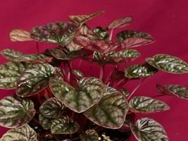 """Peperomia Caperata Chocolate Ripple LARGE Plant  6"""" Pot Terrarium Plant - $15.90"""