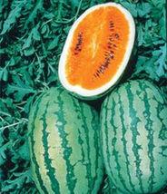 BEST PRICE 'Tendersweet Orange' Watermelon, AM DIY Home Garden Fruits 50... - $43.99