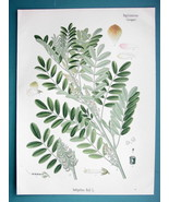 GUATEMALAN INDIGO Medicinal Indigofera Anil - Beautiful COLOR Botanical ... - $19.09