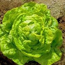 200Pcs Lettuce White Boston Vegetable Seeds Lactuca Sativa Seed - $19.84